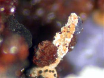 Leucophosphite Phosphosiderite & Bermanite