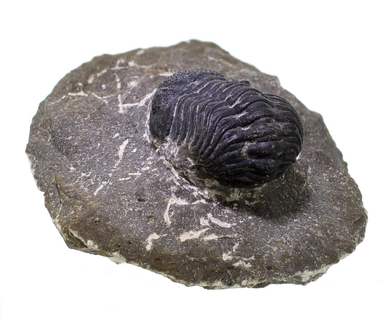Trilobite - Phacops Pleyitus