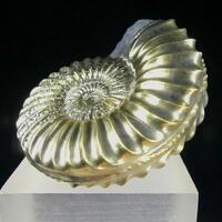 Pyrite Psm Fossil Ammonite