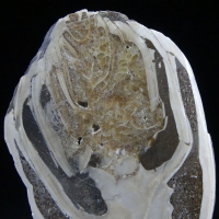 Fossil Snail