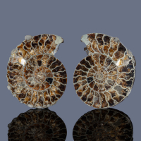 Pyritised Ammonite