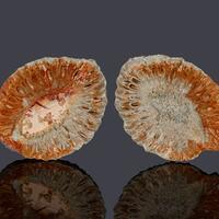 Fossil Araucaria Mirabilis