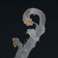 Ramshorn Gypsum With Sklodowskite