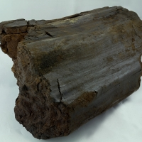 Fossil Wood
