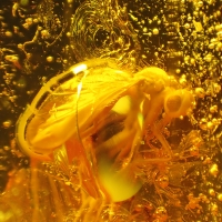 Amber With Insect