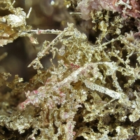 Native Gold & Erythrite