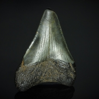 Fossil Tooth