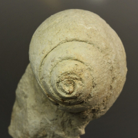 Calcite Psm Fossil Snail